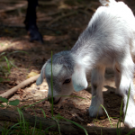 BabyGoat