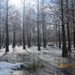 Old section bald cypress swamp 2009